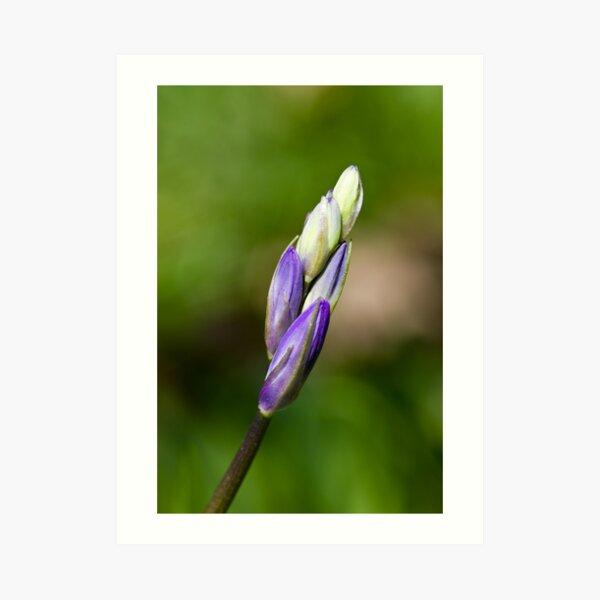Bluebell Bud (Hyacinthoides non-scripta) Art Print