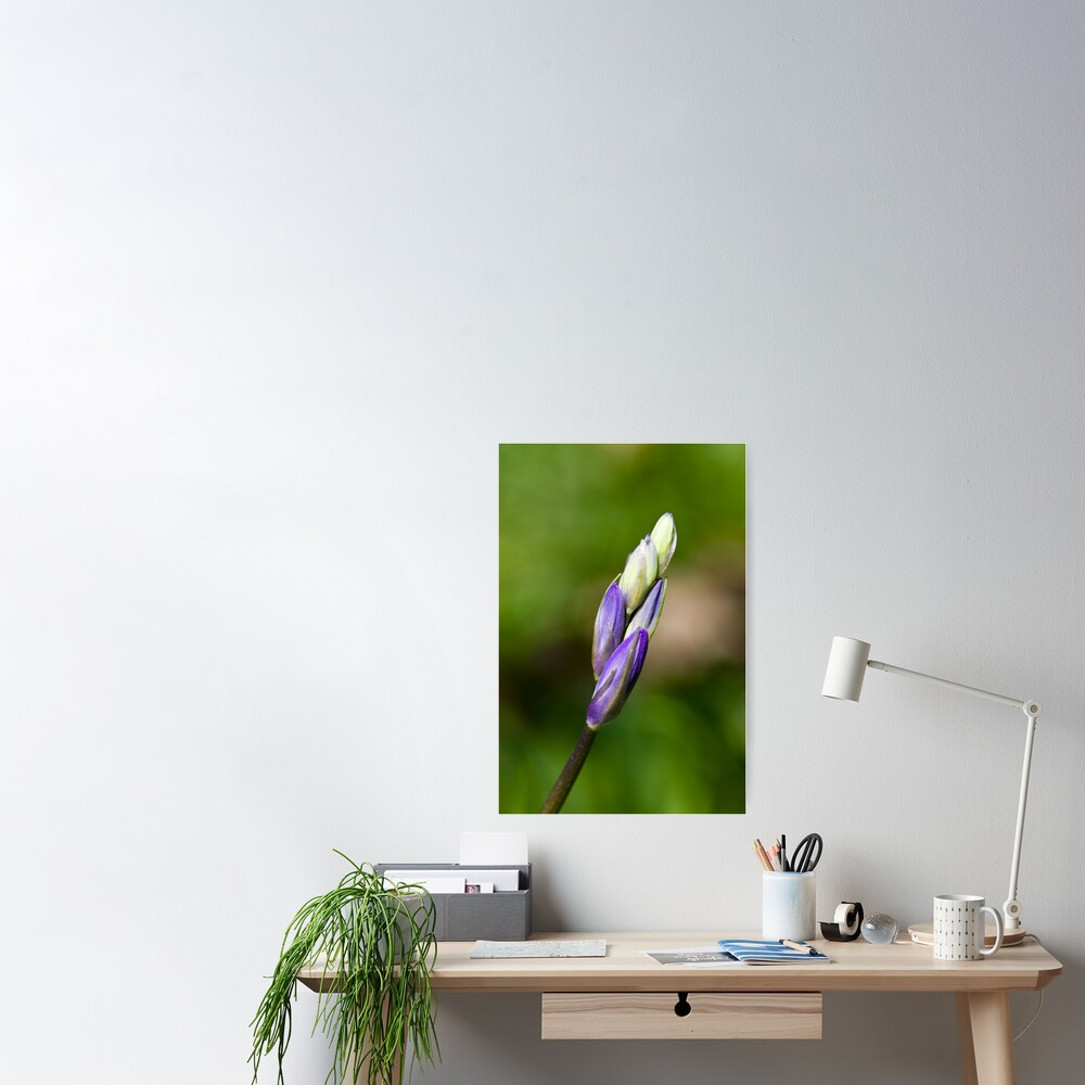 Bluebell Bud (Hyacinthoides non-scripta) Poster