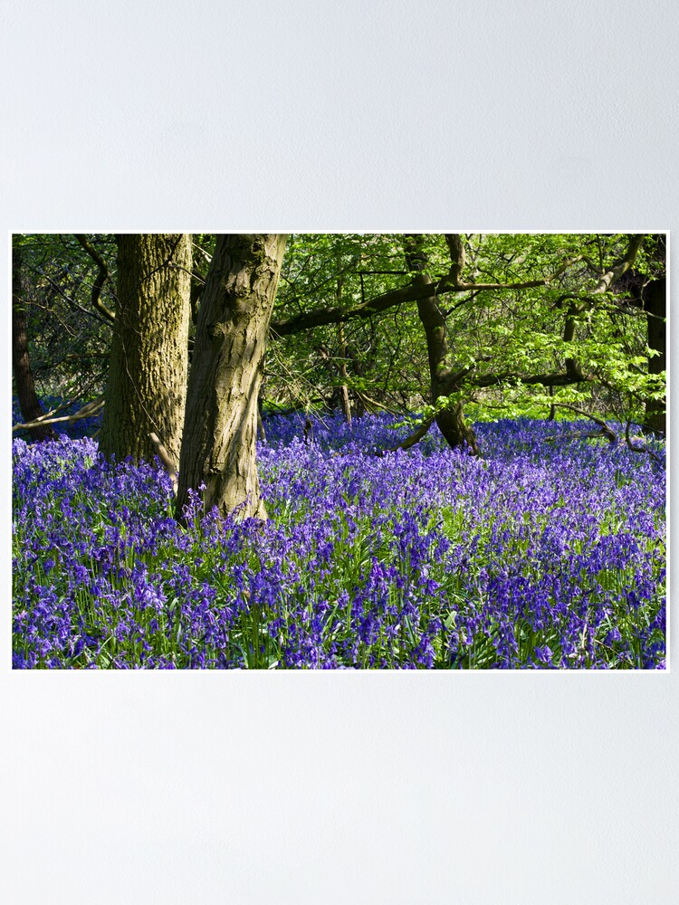 Alternate view of Bluebell Wood (Hyacinthoides non-scripta) Poster