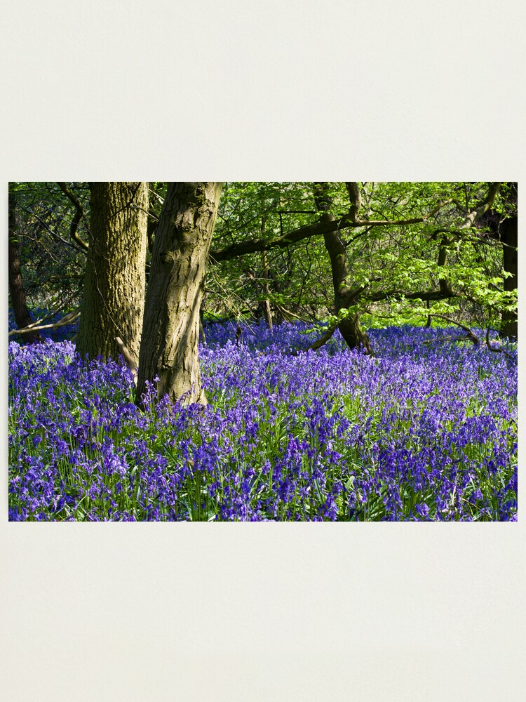 Alternate view of Bluebell Wood (Hyacinthoides non-scripta) Photographic Print