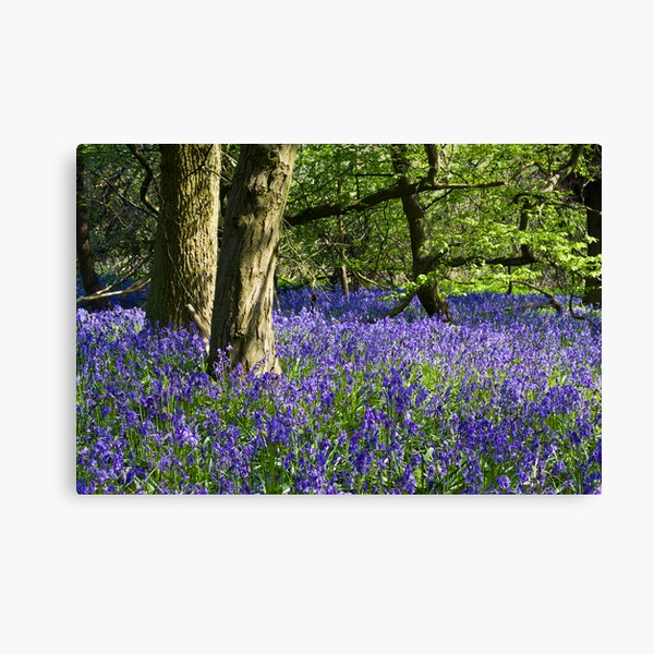 Bluebell Wood (Hyacinthoides non-scripta) Canvas Print