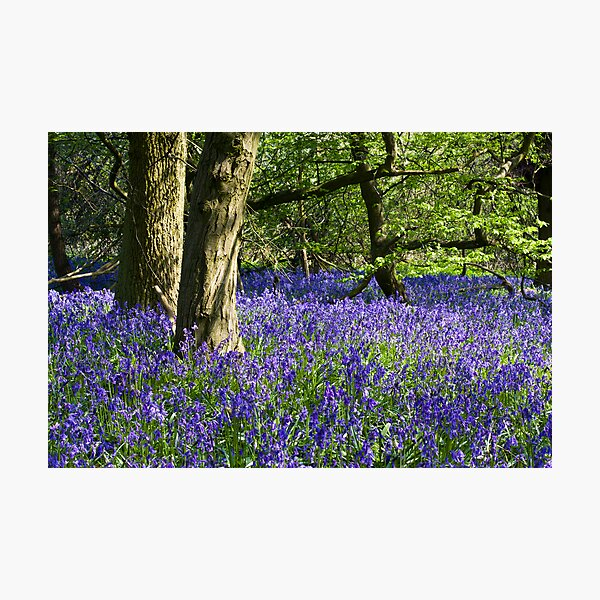 Bluebell Wood (Hyacinthoides non-scripta) Photographic Print