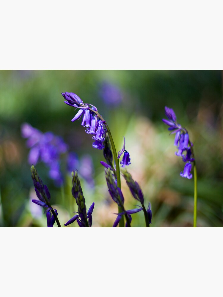 Bluebells (Hyacinthoides non-scripta) by SteveChilton