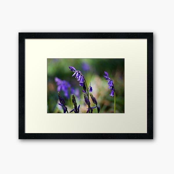 Bluebells (Hyacinthoides non-scripta) Framed Art Print