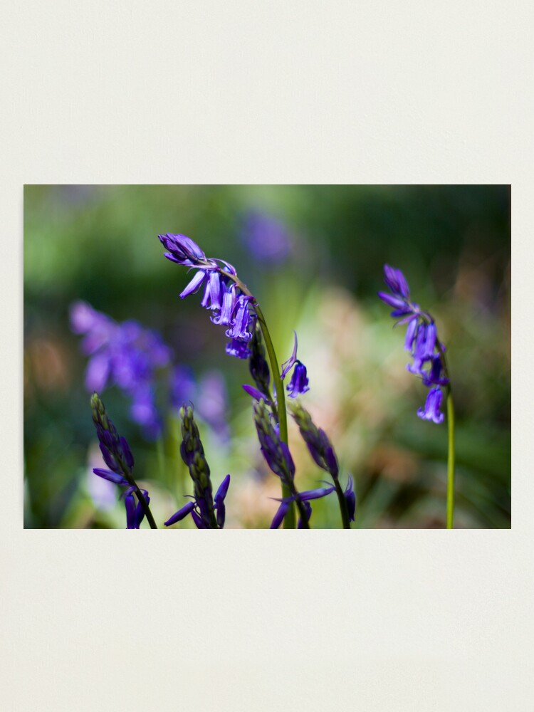 Alternate view of Bluebells (Hyacinthoides non-scripta) Photographic Print