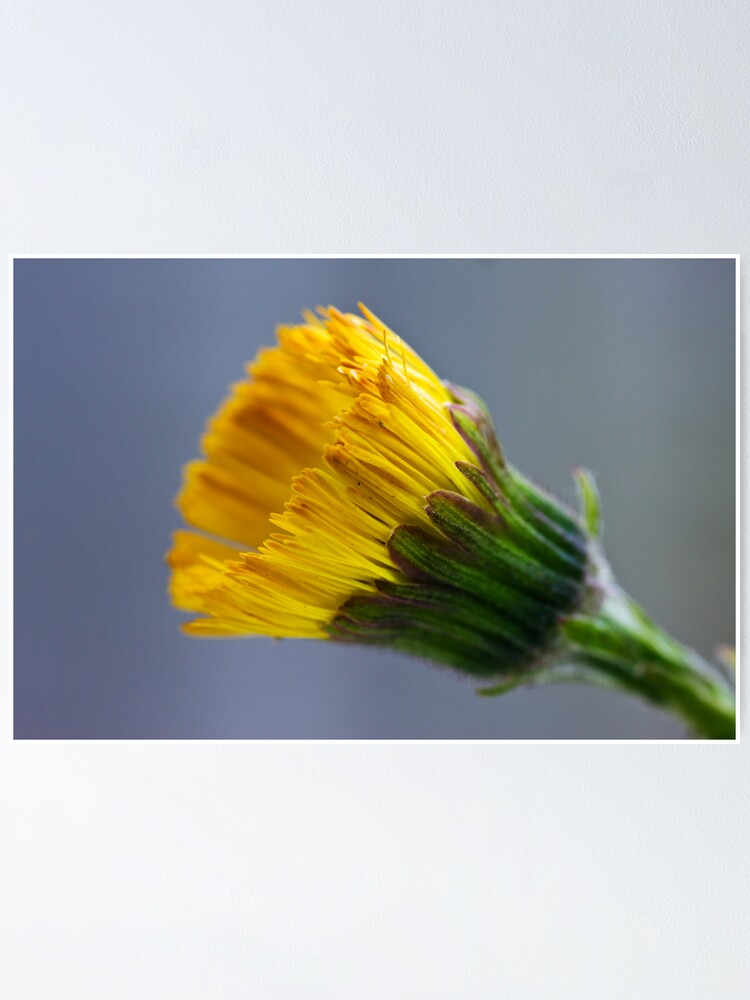 Alternate view of Colt's-foot (Tussilago farfara) Poster