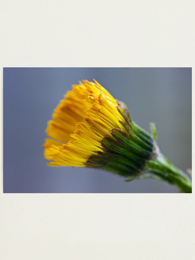 Alternate view of Colt's-foot (Tussilago farfara) Photographic Print