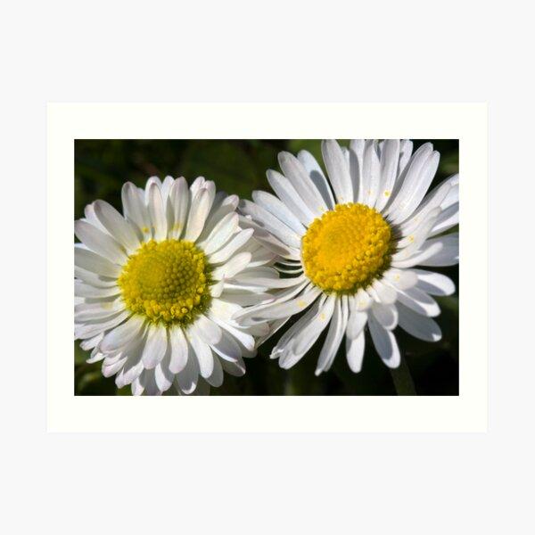 Daisies (Bellis perennis) Art Print