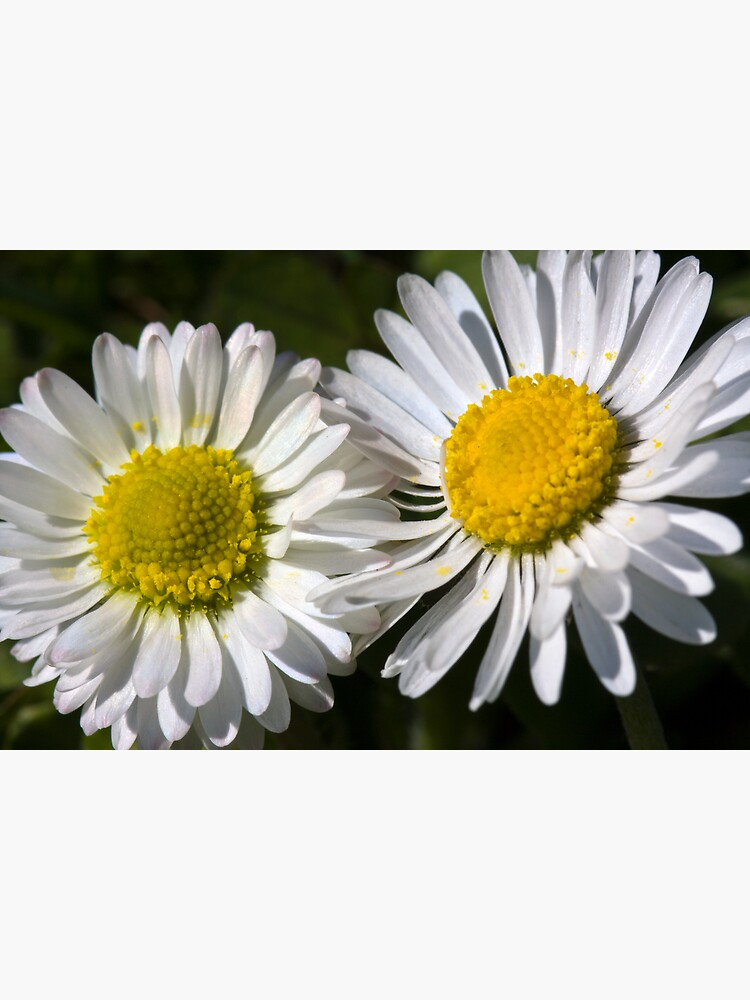 Daisies (Bellis perennis) by SteveChilton