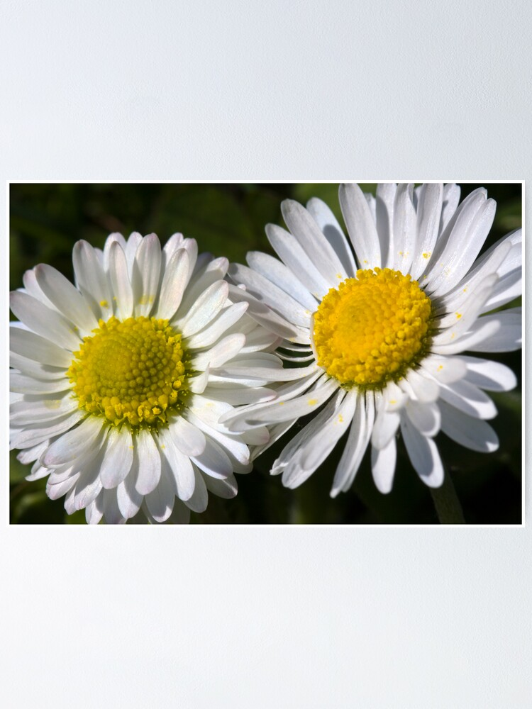 Alternate view of Daisies (Bellis perennis) Poster