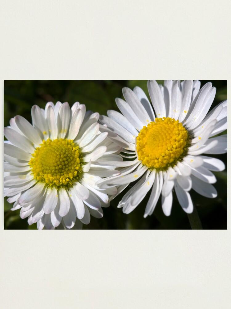Alternate view of Daisies (Bellis perennis) Photographic Print