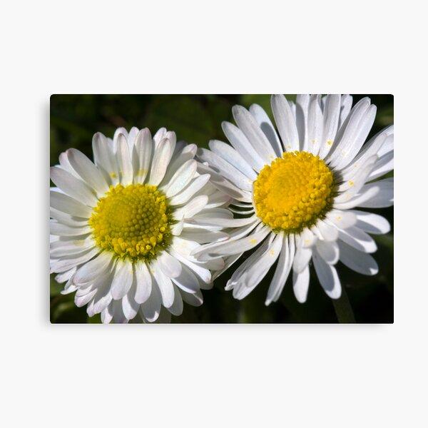 Daisies (Bellis perennis) Canvas Print