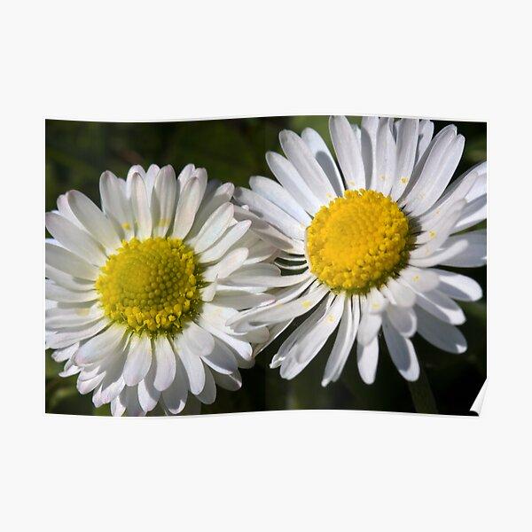 Daisies (Bellis perennis) Poster