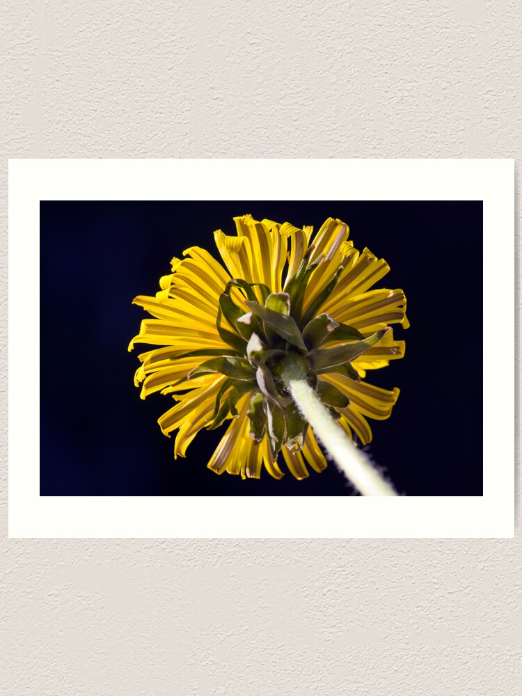 Alternate view of Dandelion (Taraxacum officinale) Art Print