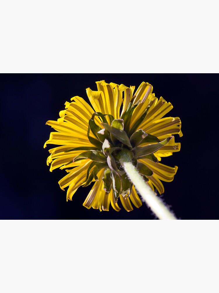 Dandelion (Taraxacum officinale) by SteveChilton