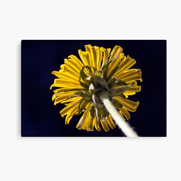 Dandelion (Taraxacum officinale) Canvas Print