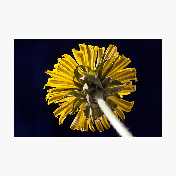 Dandelion (Taraxacum officinale) Photographic Print