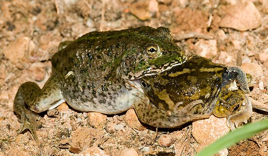It's a dog-eat-dog.... sorry, frog-eat-frog world out there by Henry  Cook