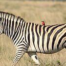 Zebra with bird jockey by quentinjlang