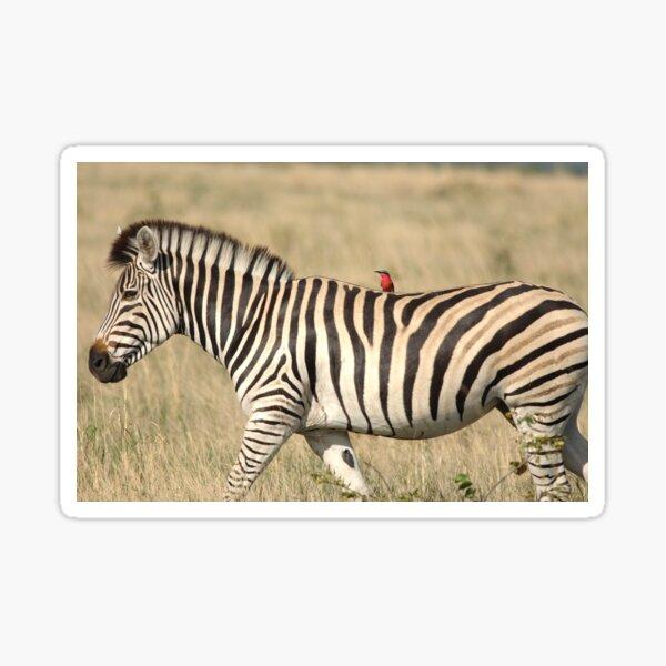 Zebra with bird jockey Sticker