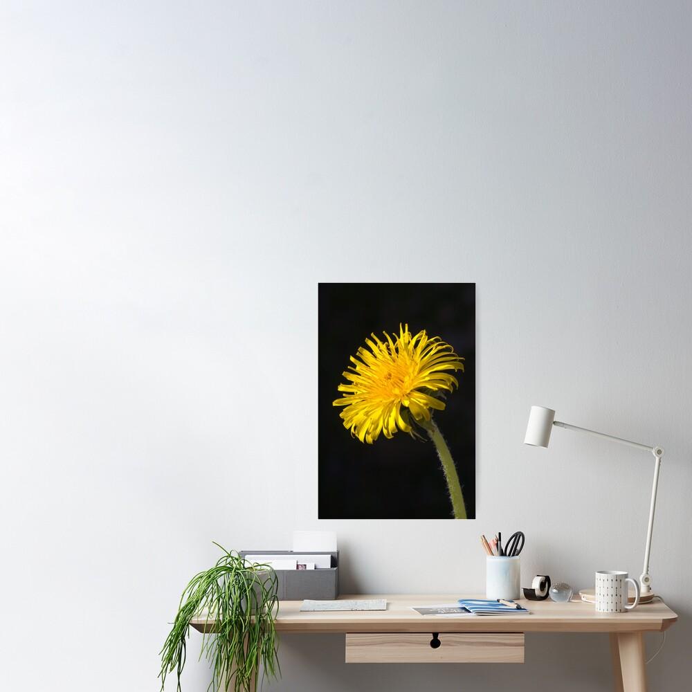 Dandelion (Taraxacum officinale) Poster