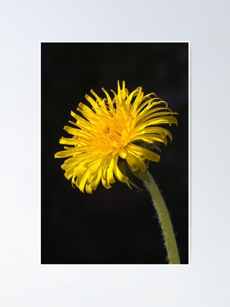 Alternate view of Dandelion (Taraxacum officinale) Poster