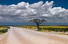Lone Acacia tree, Etosha National Park, Namibia, Africa. by PhotosEcosse
