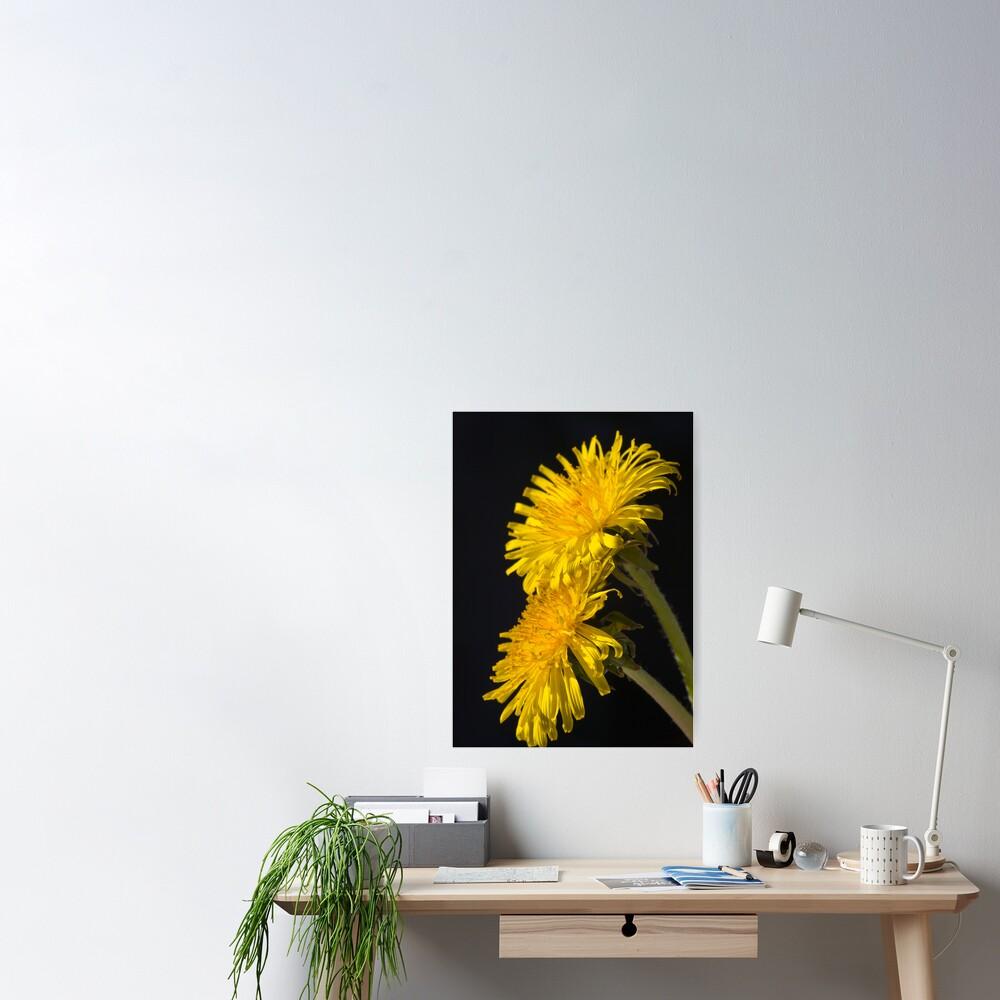 Three Dandelions (Taraxacum officinale) Poster