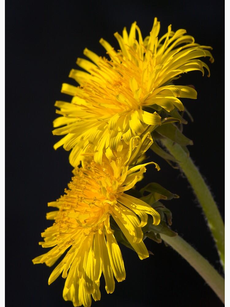 Three Dandelions (Taraxacum officinale) by SteveChilton