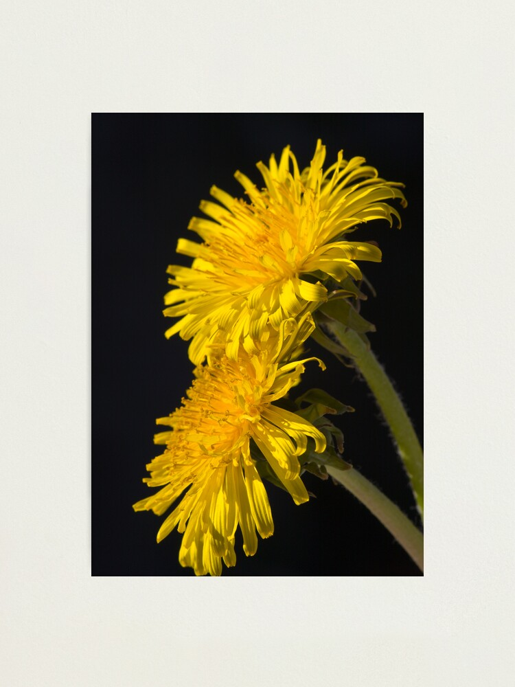 Alternate view of Three Dandelions (Taraxacum officinale) Photographic Print