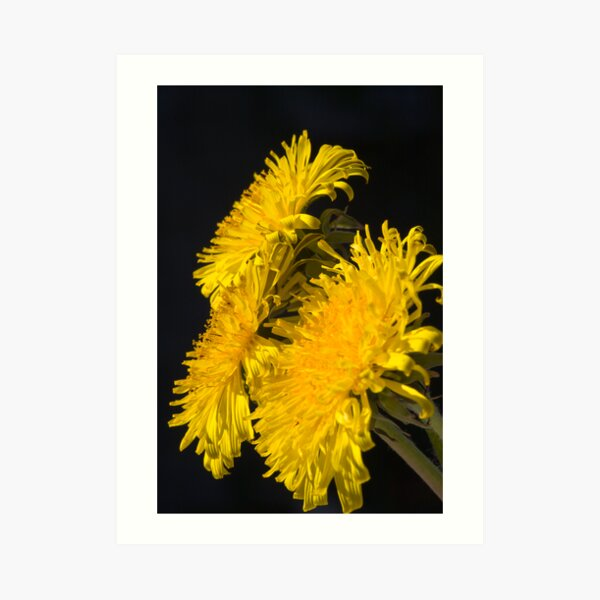 Three Dandelions (Taraxacum officinale) Art Print