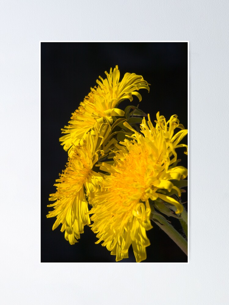 Alternate view of Three Dandelions (Taraxacum officinale) Poster