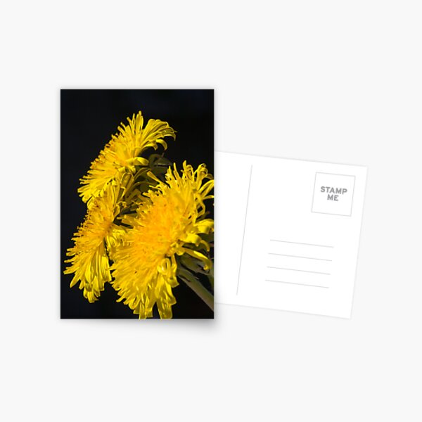 Three Dandelions (Taraxacum officinale) Postcard