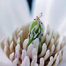 Blue V Magnolia macro by mooksool