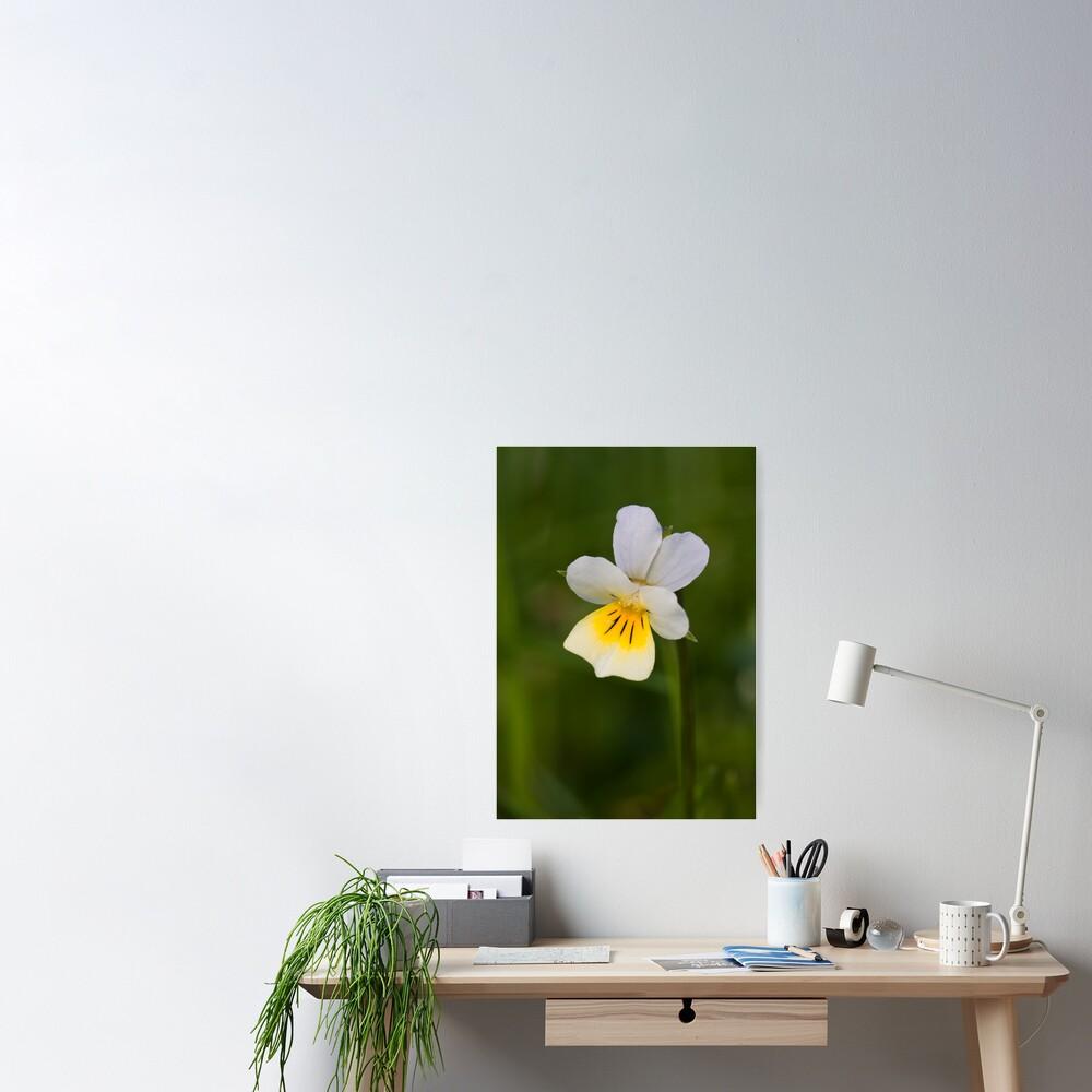 Field Pansy (Viola arvensis) Poster
