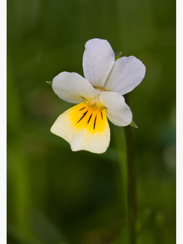 Field Pansy (Viola arvensis) by SteveChilton