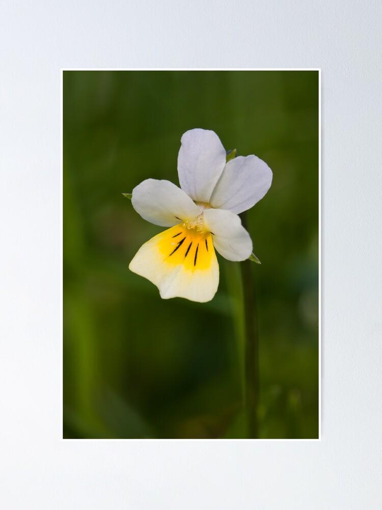 Alternate view of Field Pansy (Viola arvensis) Poster