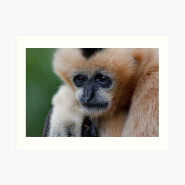 White Cheeked Gibbon Art Print