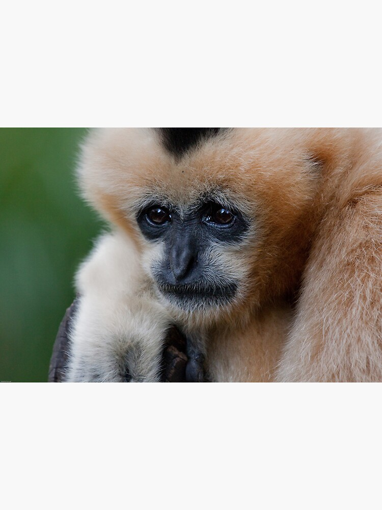 White Cheeked Gibbon by Durberville