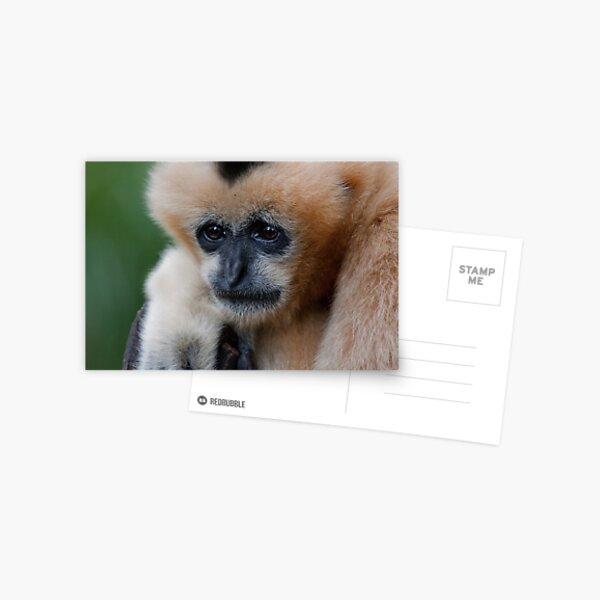 White Cheeked Gibbon Postcard