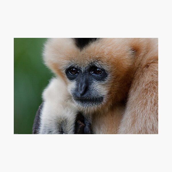 White Cheeked Gibbon Photographic Print