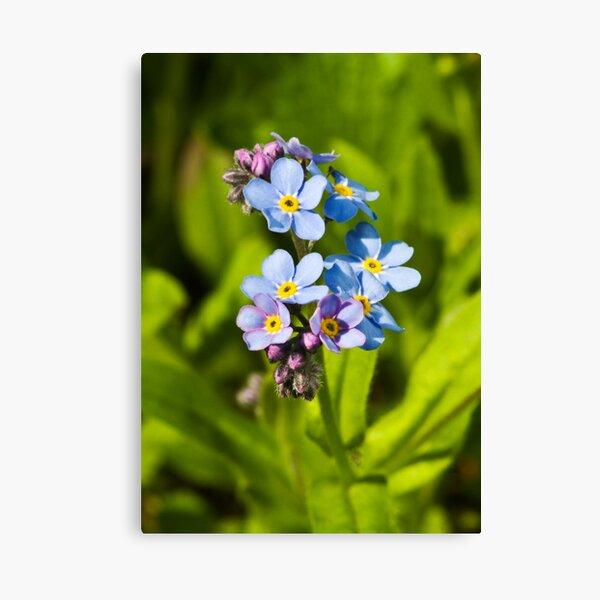 Forget-me-not Flowers (Myosotis arvensis) Canvas Print