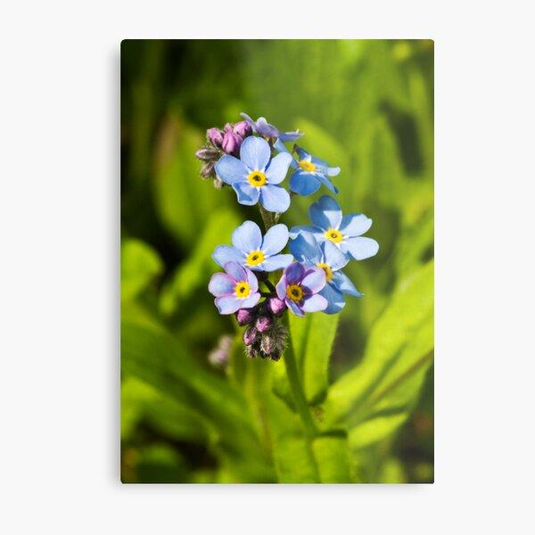 Forget-me-not Flowers (Myosotis arvensis) Metal Print
