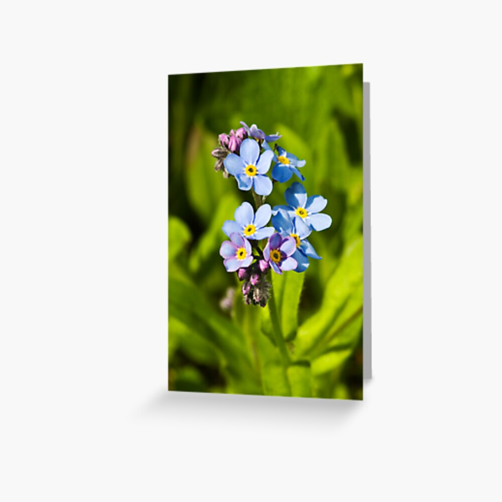 Forget-me-not Flowers (Myosotis arvensis) Greeting Card