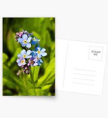 Forget-me-not Flowers (Myosotis arvensis) Postcards