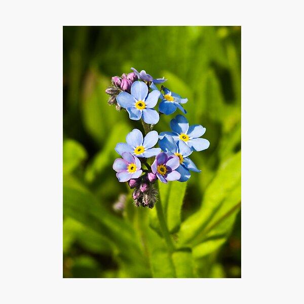 Forget-me-not Flowers (Myosotis arvensis) Photographic Print