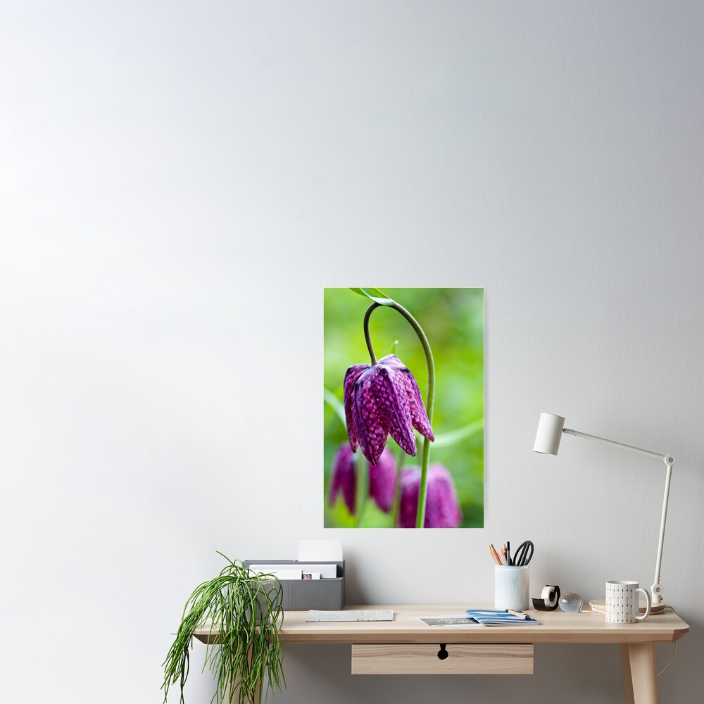 Fritillary (Fritillaria meleagris) Poster