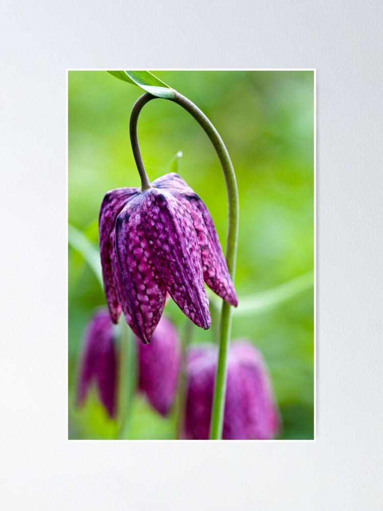 Alternate view of Fritillary (Fritillaria meleagris) Poster