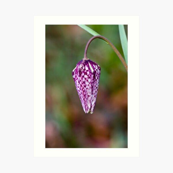 Fritillary (Fritillaria meleagris) Art Print