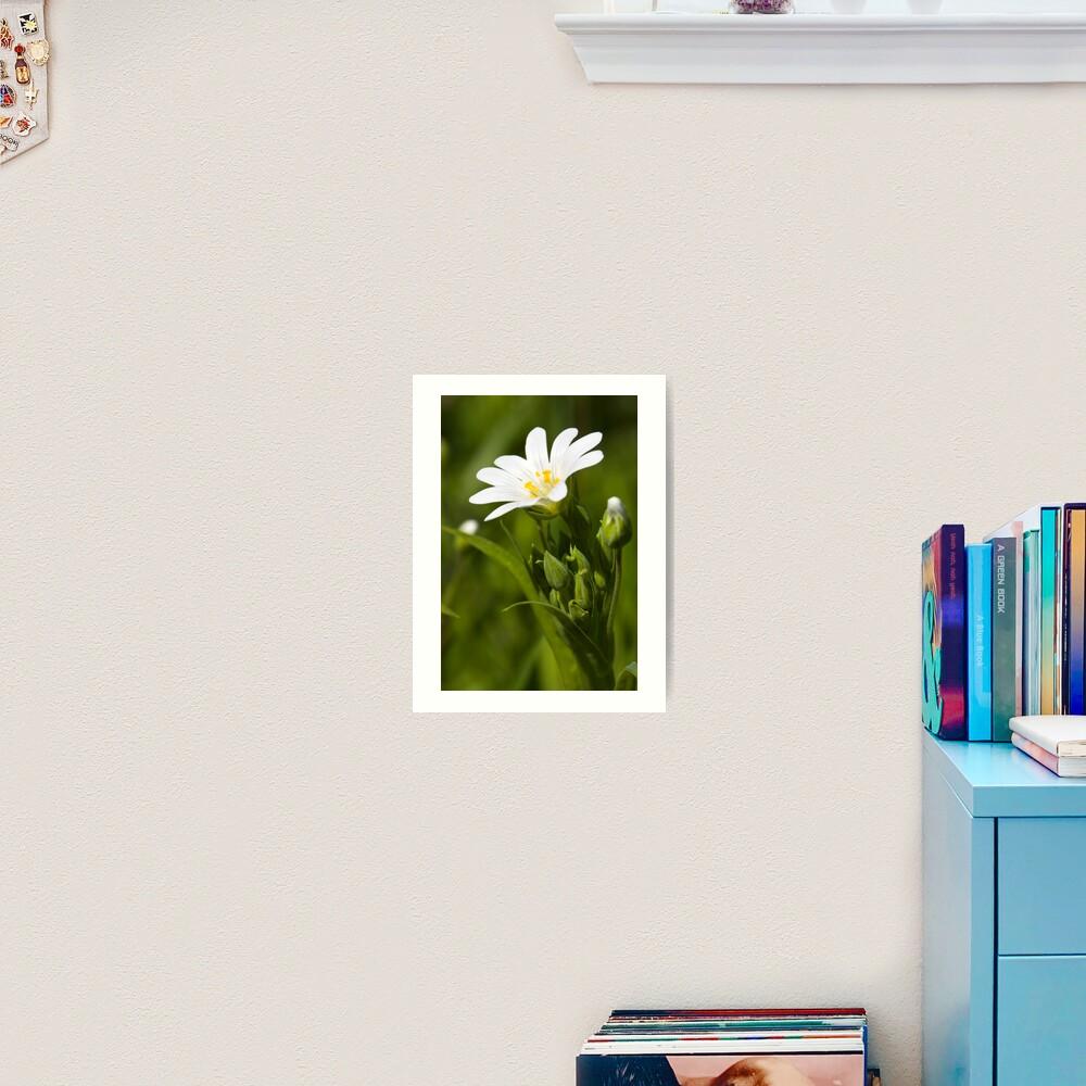Greater Stitchwort (Stellaria palustris) Art Print